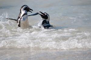 spielende Pinguine am Strand