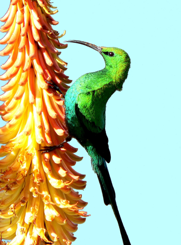 Sunbird drinking