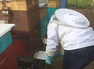 Eine Imkerin kümmert sich um ihre Bienen