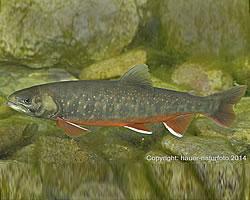 Der Fisch des Jahres 2017 - der Seesaibling