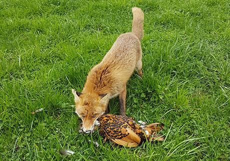 Fuchs als Frechdachs