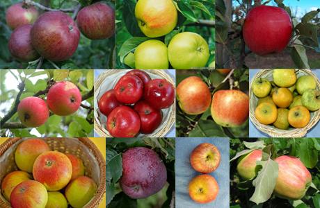 Neue Apfelsorten
