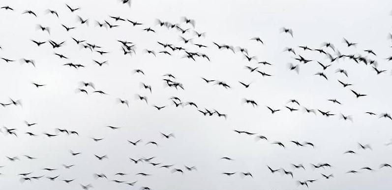 Schwarm Zugvögel