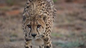 Gepard Sasha in LIONSROCK