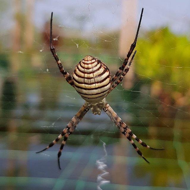 MoringaPark-Spinne