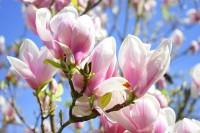 Blütensträucher, Magnolie