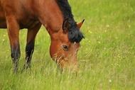 Herzerkrankungen des Pferdes