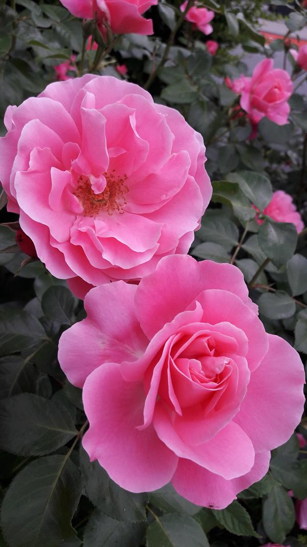 Herzensblüten