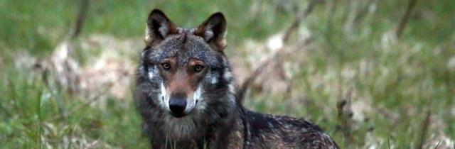 Grossraubtier Wolf