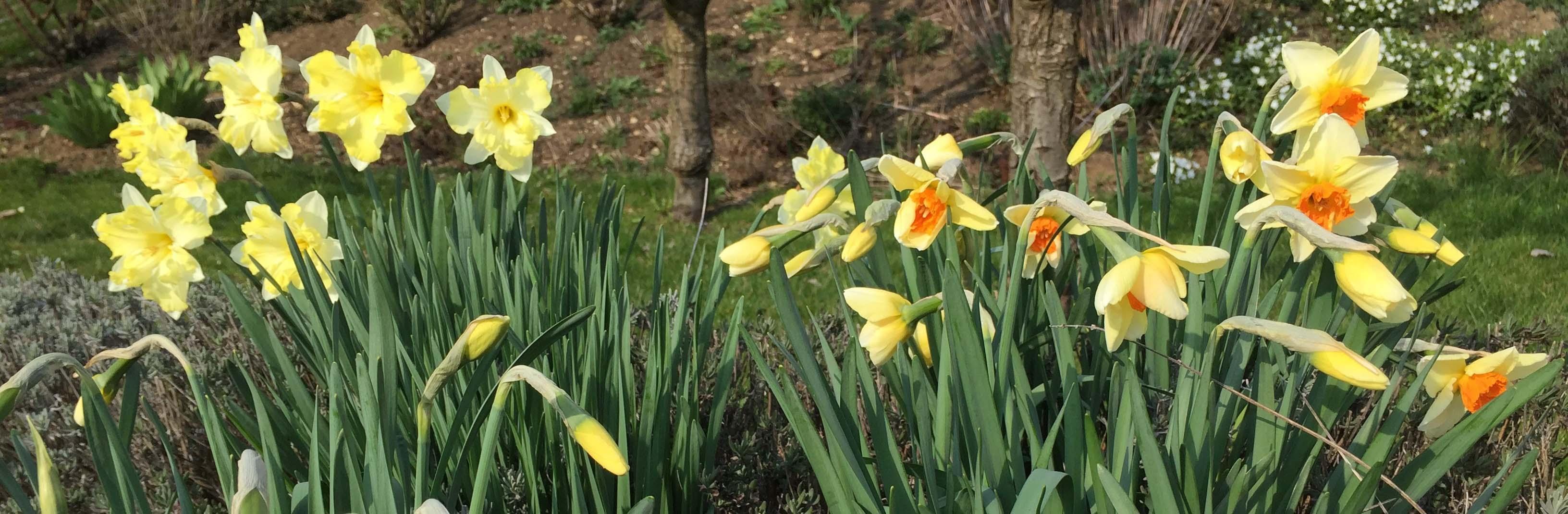 Garten Narzissen
