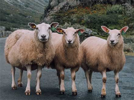 drei Schafe Photo by Dessy Dimcheva on Unsplash