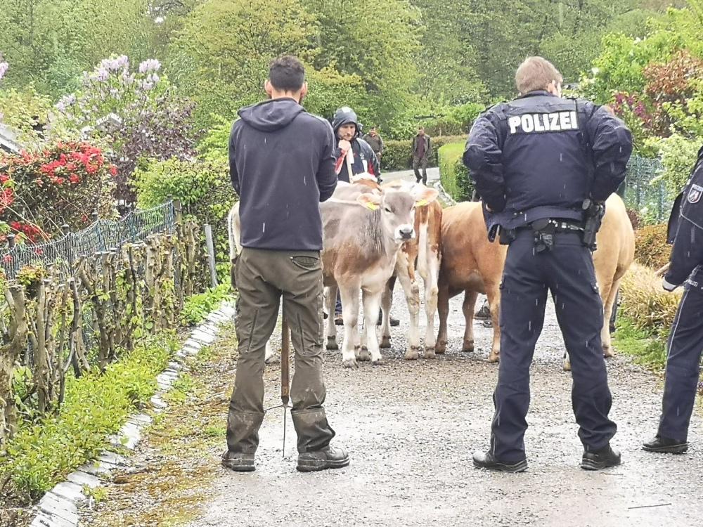 fünf Kühe