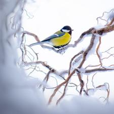 Eine Kohlmeise sitzt auf einem Baum im Schnee