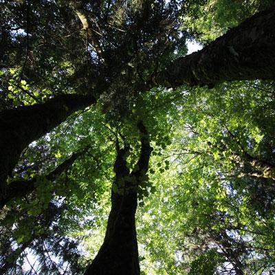 Baumwipfel vom Boden aus senkrecht nach oben in den Himmel fotografiert