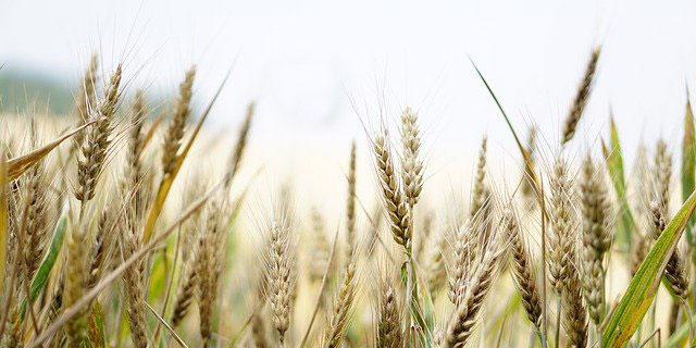 Ein Weizenfeld mit Ähren in Nahaufnahme