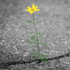 Ein Riss im Asphalt, aus dem eine zarte gelbe Blume wächst