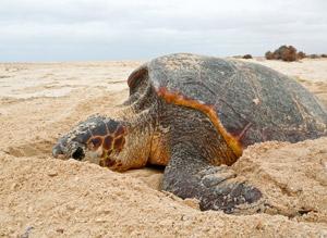 Nesting loggerhead sea turtle on Boavista, Cape Verde