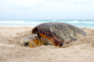 Picture: Nesting loggerhead sea turtle on Boa Vista