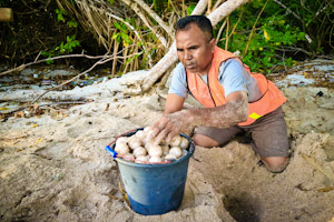 Picture: Ranger Beny Piama on Belambangan relocates a sea turtle nest that was endangered by inundation