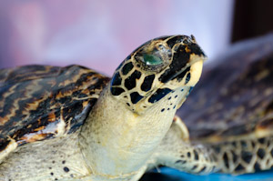 Not only turtle shell jewellery, but also stuffed hawksbill turtles are sold at markets in Indonesia!