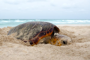 Nesting loggerhead sea turtle on Boa Vista