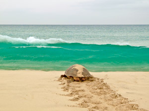 Loggerhead sea turtle returns to the sea on Boa Vista, Cape Verde