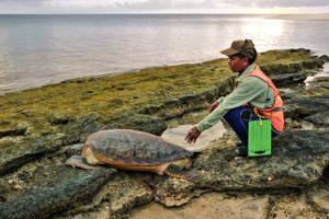Ranger with returning green turtle on Belambangan