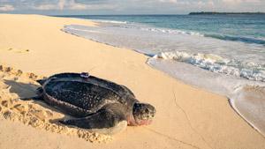 Leatherback sea turtle with satellite tag on Selaut Besar, West Sumatra, Indonesia