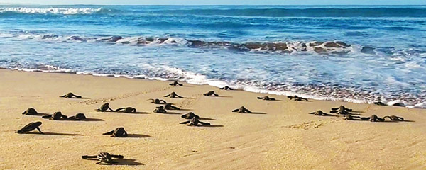 Leatherback hatchlings heading to the sea