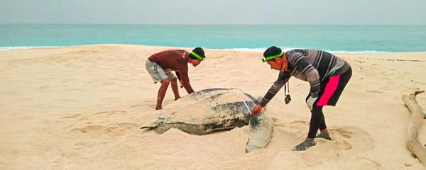 Ranger on Selaut Besar measuring a leatherback turtle