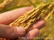 Finger halten eine Reisähre