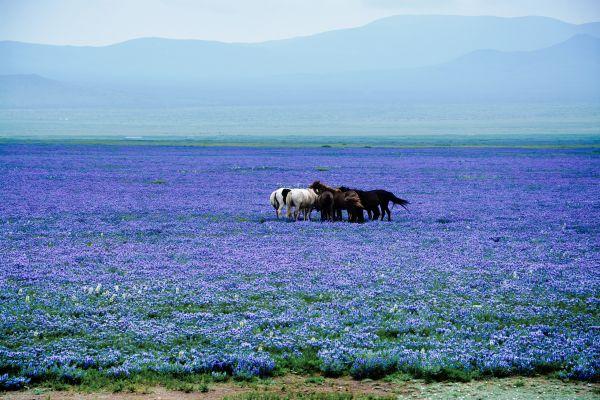 Steppe mit Pferden und blaublühenden Blumen