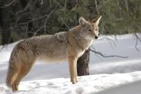 Krafttier Kojote