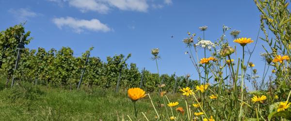 vorne im Bild sind Ringelblumen zu sehen, im Hintergrund der Spätburgunder an der Helfanter Mühle