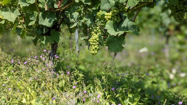 Spätburgundetrauben - Anfang September und noch grün - sie hat aber auch noch Zeit. Ernte in 4 bis 6 Wochen.
