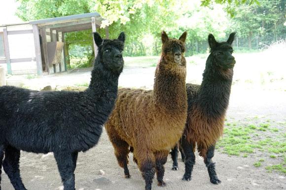 Unsere Alpakas