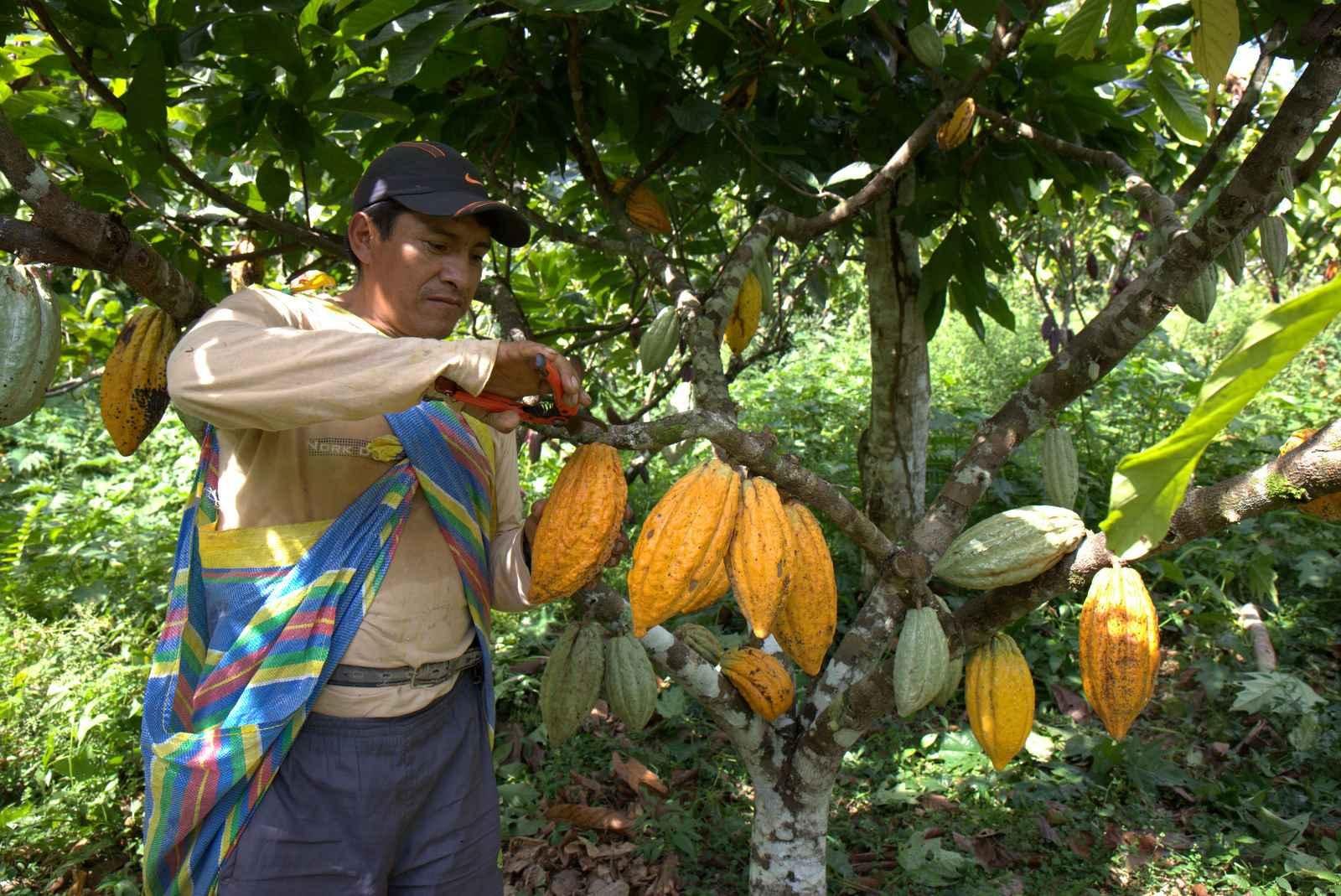 """Öko-Kakaobauer Luis Jonathan Callo Arcega bei der Ernte von """"Chuncho""""-Ur-Kakao"""