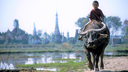 Boy riding a water buffalo in Burma