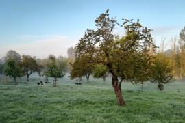 Weide mit Obstbaum und Kühen
