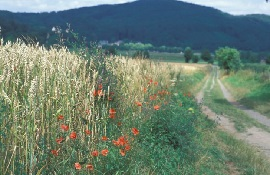 Feldweg mit Mohn und Getreide