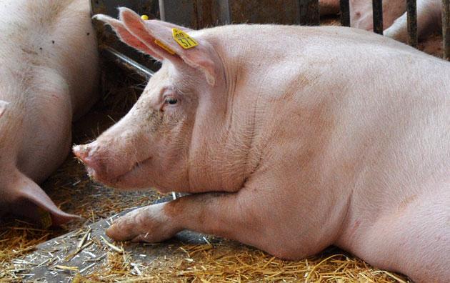 Mastschwein im Stall