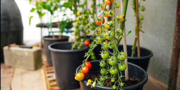 Tomatenpflanzen. Foto: SolStock / iStock / Getty Images Plus / Getty Images