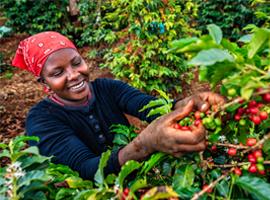 Frau bei der Kaffeeernte. Foto: hadynyah / E+ via Getty Images