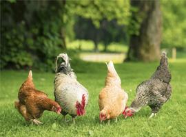 Hühner und Hahn auf einer Wiese.