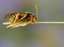 Langkopf-Wespenbiene