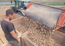 Mann kontrolliert Abfüllung der Kartoffeln in Kisten. Foto:  Dominic Menzler, BLE